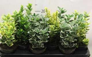 Комнатное растение бересклет: уход, выращивание, посадка, виды и фото цветка бересклет