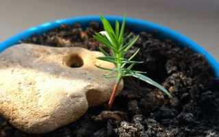 Как вырастить сосну из семян – советы от опытных лесоводов + Фото, видео
