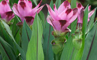 Растение куркума: лечебные свойства и противопоказания, фото, посадка и описание