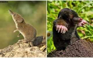Землеройка – мышь или крот?