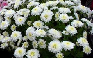 Хризантема Радость: фото, выращивание из семян