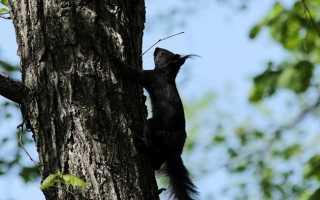 Белка-летяга — сообщение о животном лиственных лесов для 4 класса
