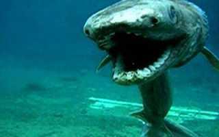 ПЛАЩЕНОСНАЯ АКУЛА — реликтовая акула ∞ Лагуна акул