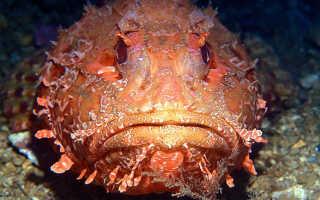 Скорпеновая рыба морская — поиск слов по маске и определению, ответы на сканворды