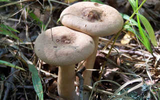 Млечник серо-розовый: описание гриба, места распространения