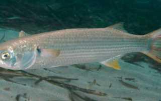 Рыба лобань польза и вред, где водится и приготовление черной кефали