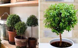 Мирт — 63 фото инструкций по уходу за карликовым деревцем
