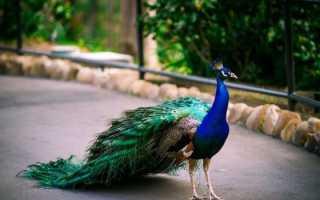 Обыкновенный (индийский) павлин: описание, фото, где обитает, чем питается