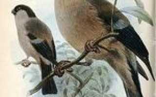 Семейство Вьюрковые (Fringillidae) представители семейства список птиц