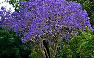 Жакаранда: фиалковое дерево, уход в домашних условиях, мимозолистная, выращивание из семян, дельта, где растет