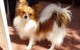 Порода собак папильон: фото, описание породы, примерная цена