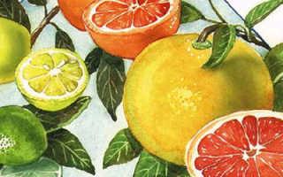 Удивительный плод апельсин – фрукт или ягода любимый представитель рода Цитрус