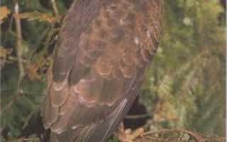Птица канюк: фото, как выглядит, образ жизни, чем питается, на кого охотится хищник