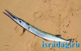 Как поймать рыбу Сарган (garfish) — где и на что ловить эту рыбу в Средиземном