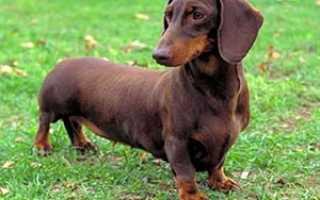 Такса — фото и описание породы собак по стандарту, характер и особенности (видео)
