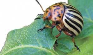 Против колорадского жука