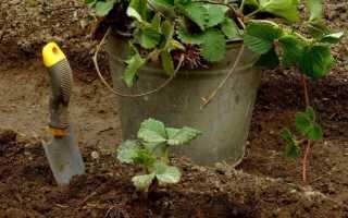 Посадка клубники осенью: как и когда правильно садить