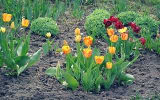 Тюльпаны — посадка и уход в открытом грунте, когда высаживать, видео