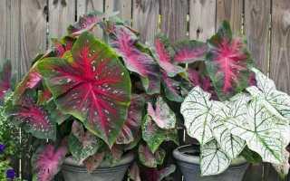Каладиум: уход в домашних условиях, выращивание из семян, размножение, пересадка, полив