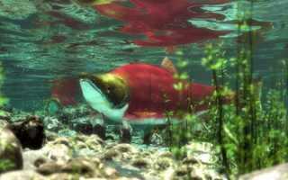 Лососевые рыбы названия с фото, особенности видов