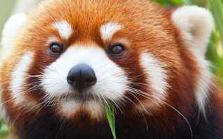Красная панда (55 фото): китайская малая, карликовый медвежонок, огненная спит, кот, firefox