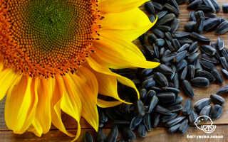 Цветы подсолнечника: польза, вред, как едят, рецепты напитков