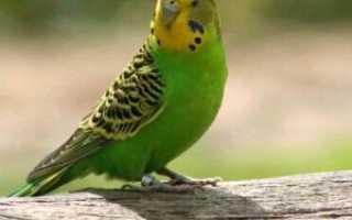 Симптомы болезней волнистых попугаев, заболевания попугаев, лечение волнистого попугая