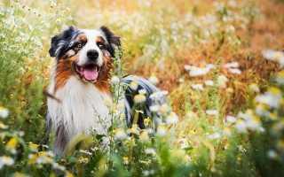 Топ-10 самых умных пород собак признанных в мире, особенности и характеристики животных