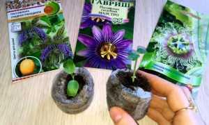 Выращивание пассифлоры в домашних условиях: описание и виды с фото, посадка семян и уход, размножение