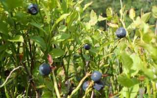 Когда цветет и созревает черника в лесу, фото ягоды черники, какое приспособление для сбора черники