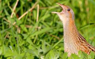 Коростель (дергач) — птица