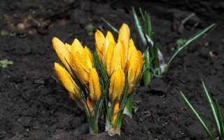 Крокусы: посадка и уход в открытом грунте, советы по выращиванию первоцветов