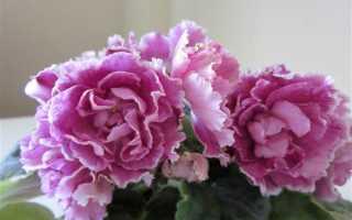 Фиалка Ледяная роза: описание и характеристика