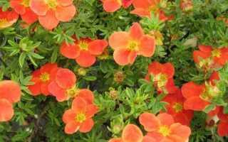 Лапчатка кустарниковая: уход и выращивание в саду с удовольствием и знанием дела