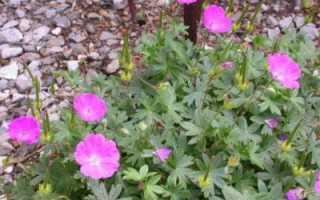 Герань Макс Фрай: фото кроваво красных видов растения, описание и происхождение сорта, а также подробная