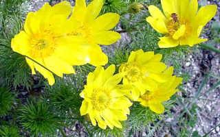 Трава адониса — применение и противопоказания горицвета весеннего