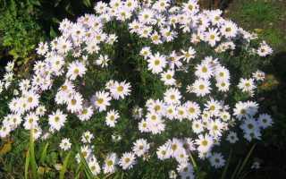 Сорта хризантем: фото и названия новых многолетних садовых, корейских, белых и крупноцветковых хризантем