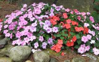 Бальзамин садовый выращивание из семян: советы от профессионалов