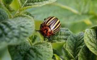 Как избавиться от колорадского жука без химии 7 способов