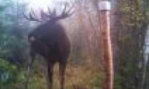 Как разделать лося (тушу) правильно в лесу — видео