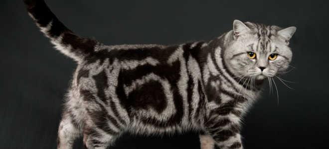 Порода мраморная кошка: описание, фото