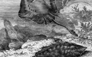 Морская лисица или колючий скат (Raja clavata)