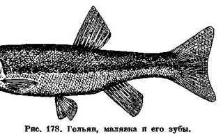 Рыба гольян – описание, поведение