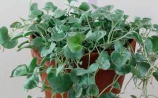 Дихондра ампельная Серебристый водопад: выращивание из семян