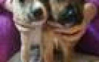 Стаффордширский терьер — купить щенка в Московской области, в дар, поиск и продажа собак