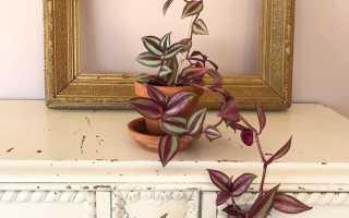 Цветок зебрина виды: висячая, пурпуза, уход в домашних условиях